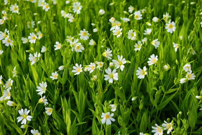 White small flowers in green meadow. Background from many white small flowers in nature with green plants. royalty free stock photography