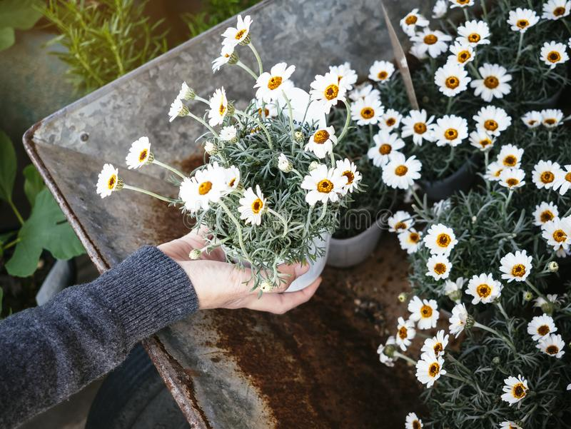 White Flowers pot plant with Hand holding Home gardening stock images