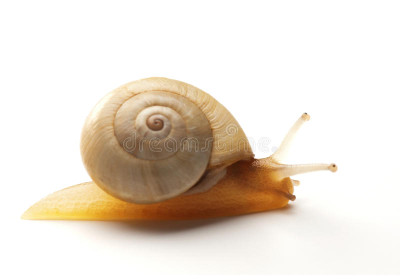 Download White Snail stock photo. Image of slow, close, white - 19762148