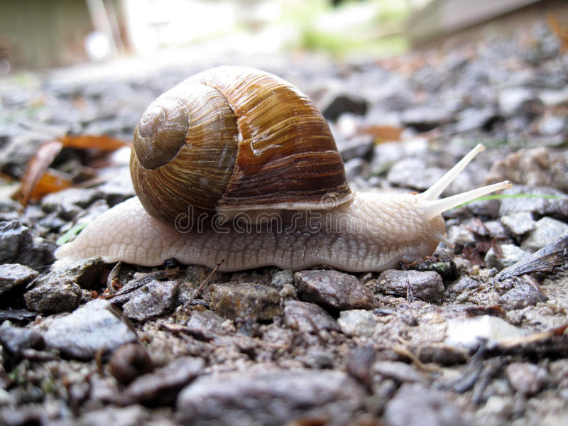 Download White Snail On Little Rocks Stock Photo - Image: 27019550