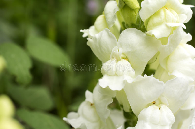 White snapdragon stock photo image of brightly petal 66122758 download white snapdragon stock photo image of brightly petal 66122758 mightylinksfo