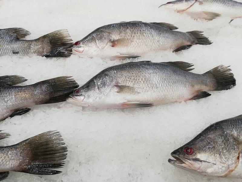 White snapper or sea basses on cool ice. Fresh fishes Giant Perch, barramundi, silver perch, white perch, white snapper or sea basses on cool ice royalty free stock images