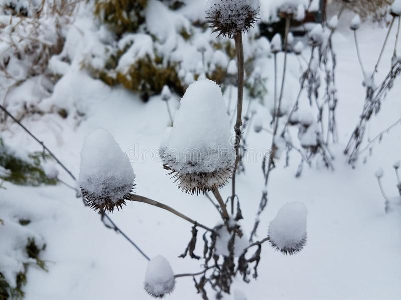 White snow on coneflower in the winter royalty free stock photography