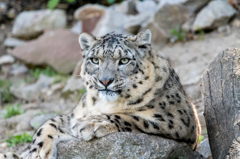 White snow leopard or Irbis (Panthera uncia) resting on a stone royalty free stock image