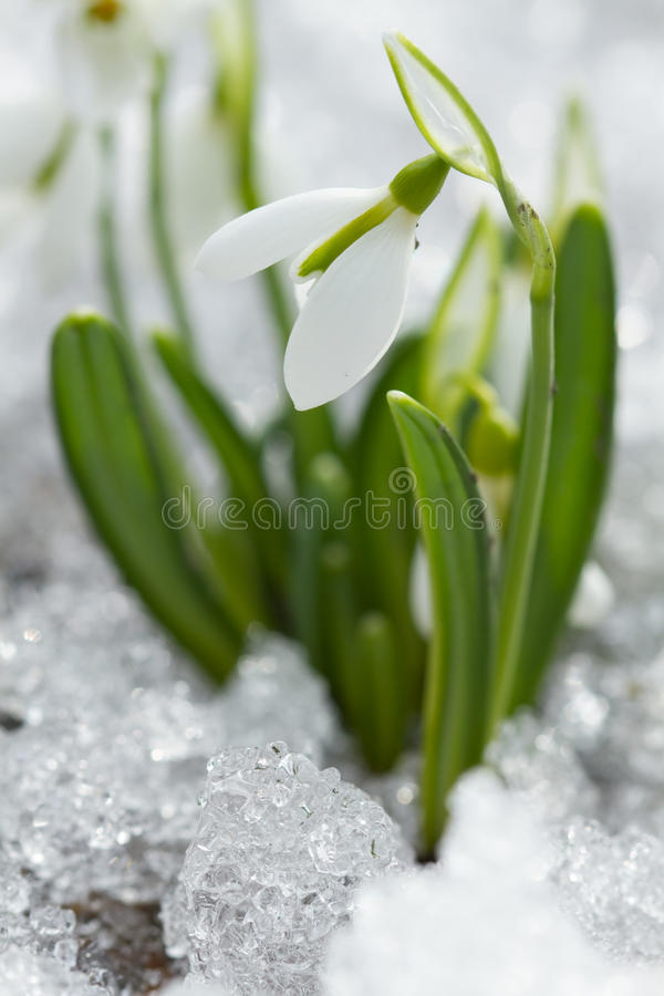 Download White snowdrop stock image. Image of blossom, forest - 30538743