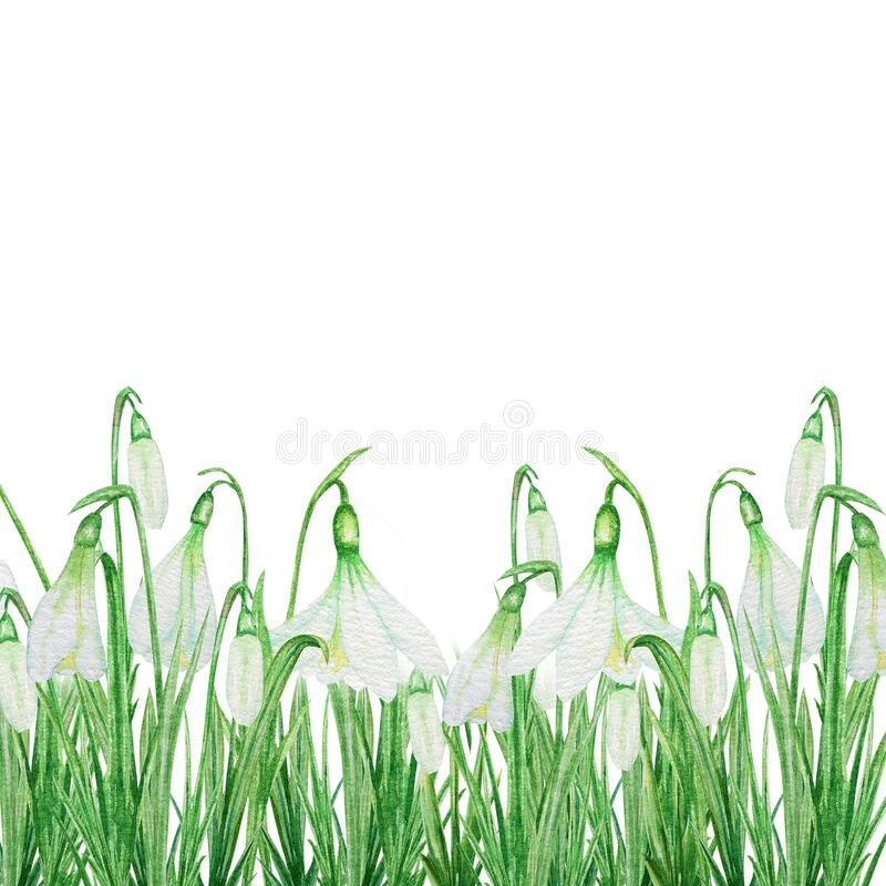 Free White Snowdrop Spring Easter Flowers With Fresh Green Leafs. Delicate Snowdrops First Flower Bouquet Frame Spring Stock Photo - 173815160