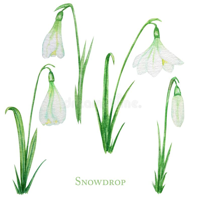 Free White Snowdrop Spring Easter Flowers With Fresh Green Leafs Set. Delicate Snowdrops First Flower The Spring Symbols Royalty Free Stock Photography - 172398997