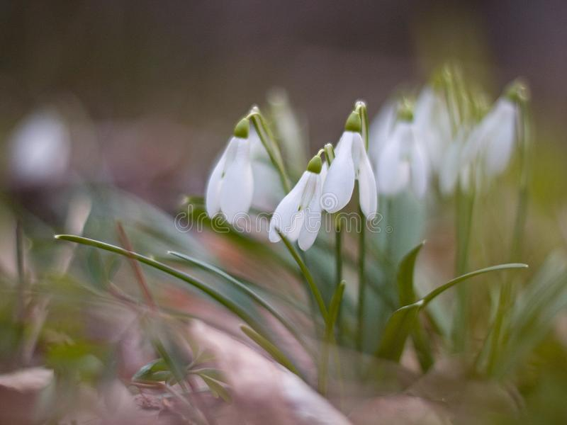 White snowdrops blooming on the hillside stock image