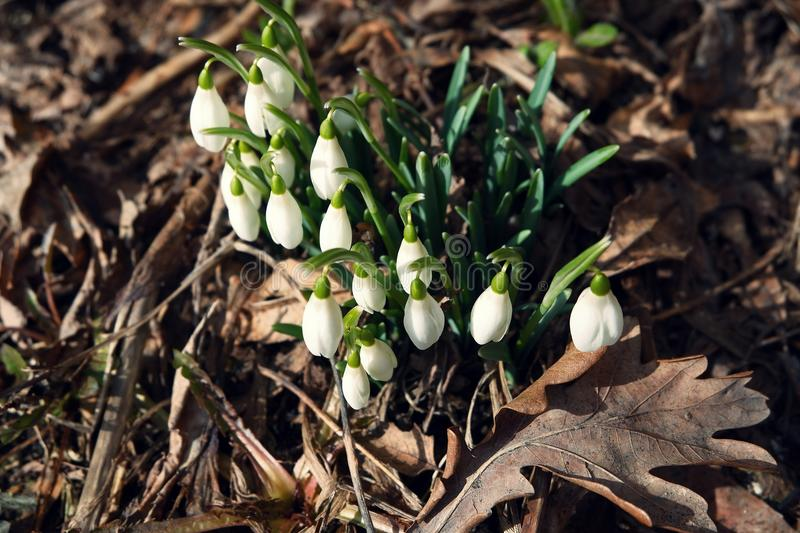white snowdrops among dry leaves stock photography