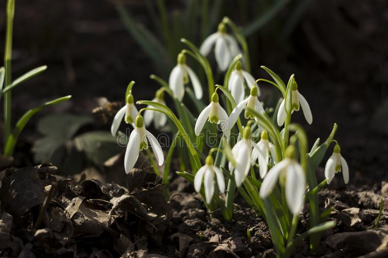 White snowdrops Galanthus nivalis is the first spring flower. Blooming tender snowdrops in the garden, background royalty free stock photos