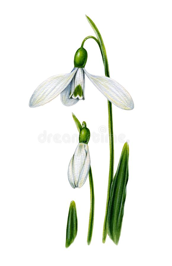White snowdrops with leaves. royalty free stock photo