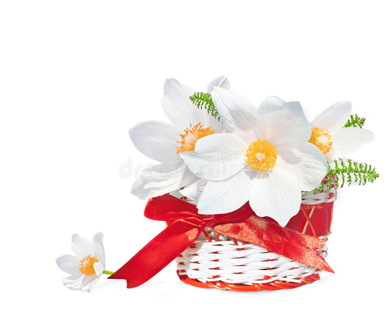 White snowdrops in red basket isolated on white background. Spring bouqet royalty free stock photo