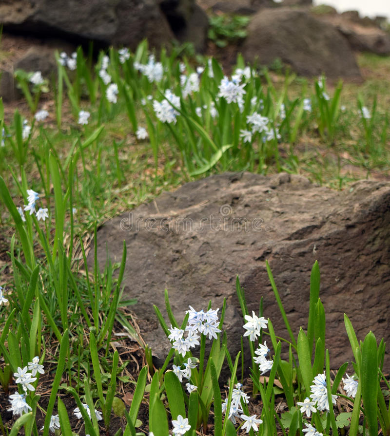 White snowdrops and rocky landscape. Beautiful white snowdrops flowers and stones in forest. Springtime photo background royalty free stock photos