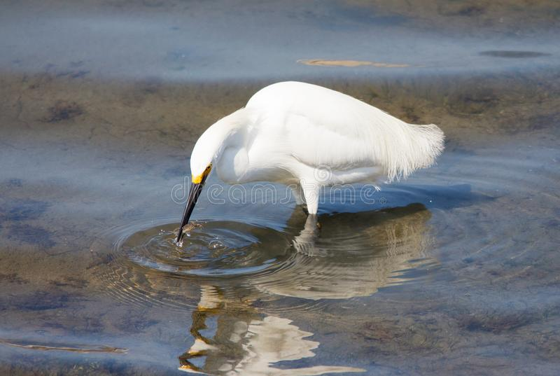 White Snowy Egret with a fish in its beak royalty free stock images