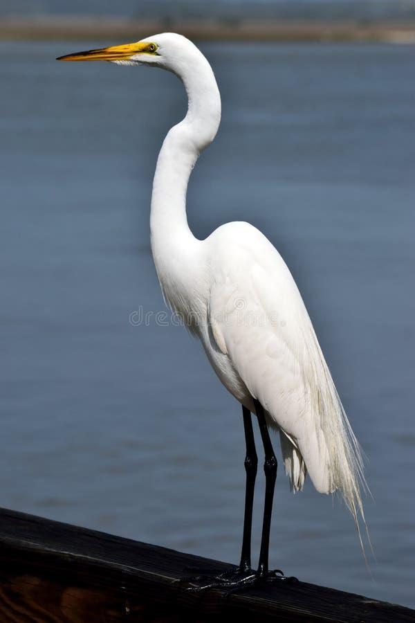 Snowy egret in Florida stock photos
