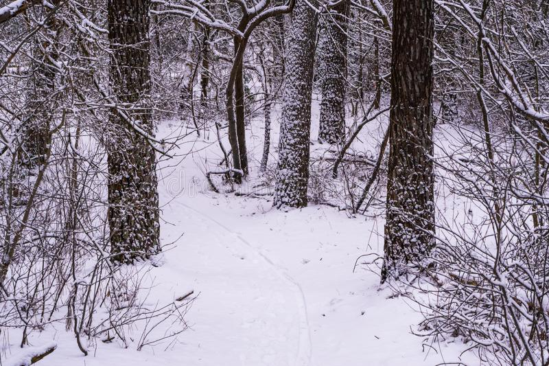 White snowy forest landscape, walking path and tree trunks covered in snow, winter season in a dutch woods scenery royalty free stock photos