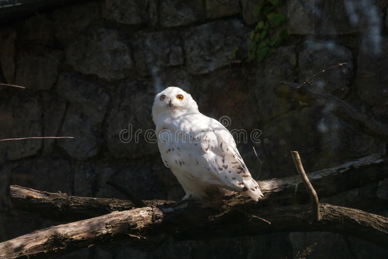 White Snowy owl in the shadow looking at the sun light stock photos