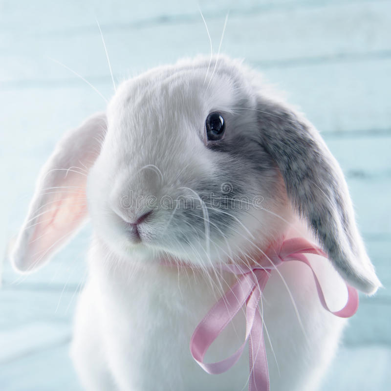 White soft bunny rabbit. With pink ribbon and light blue background royalty free stock photography