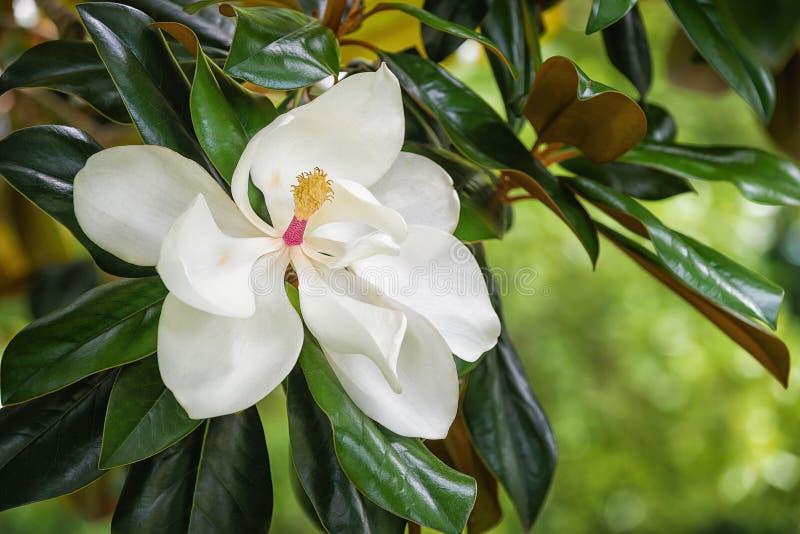 White southern magnolia flower blossom stock photo