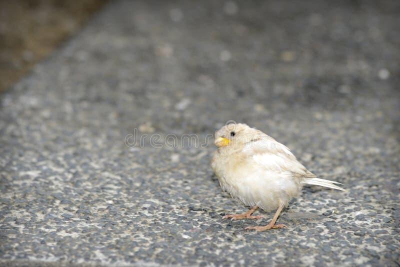 White sparrow leucism stock photos
