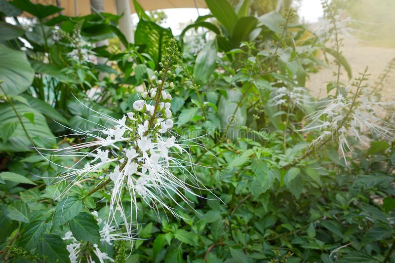 White spider flower in botanical garden stock photo image of human download white spider flower in botanical garden stock photo image of human cloth mightylinksfo
