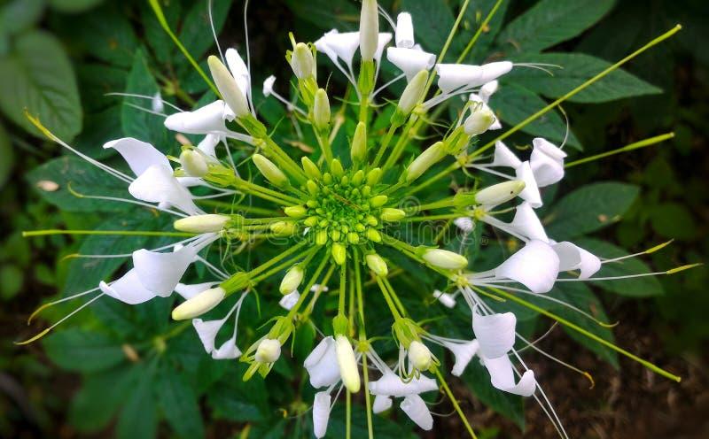White spider flower stock image image of garden symmetrical download white spider flower stock image image of garden symmetrical 112245809 mightylinksfo