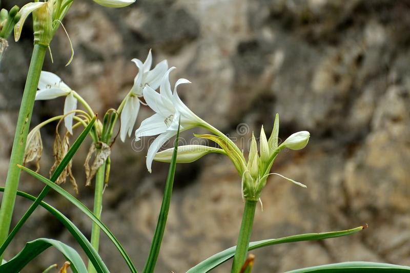 White spider lily royalty free stock photos
