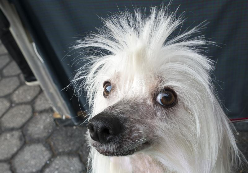 White spiky haired poodle dog stock photos