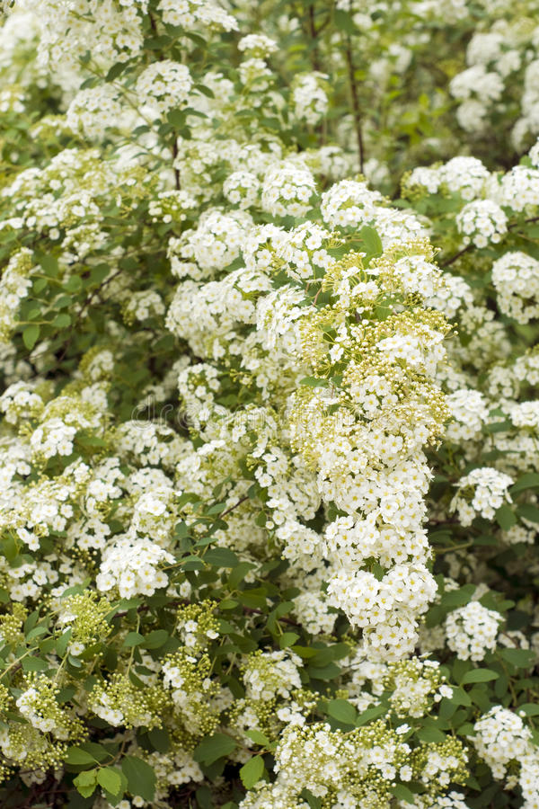 Download White spiraea blossom stock image. Image of leafs, outdoors - 18267977