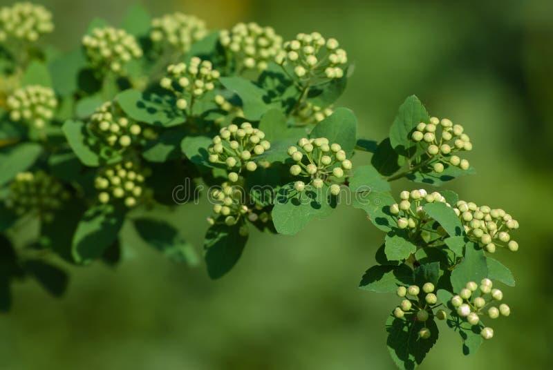 White Spiraea (Meadowsweet) buds royalty free stock photos