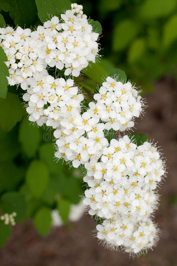 White Spirea royalty free stock photos