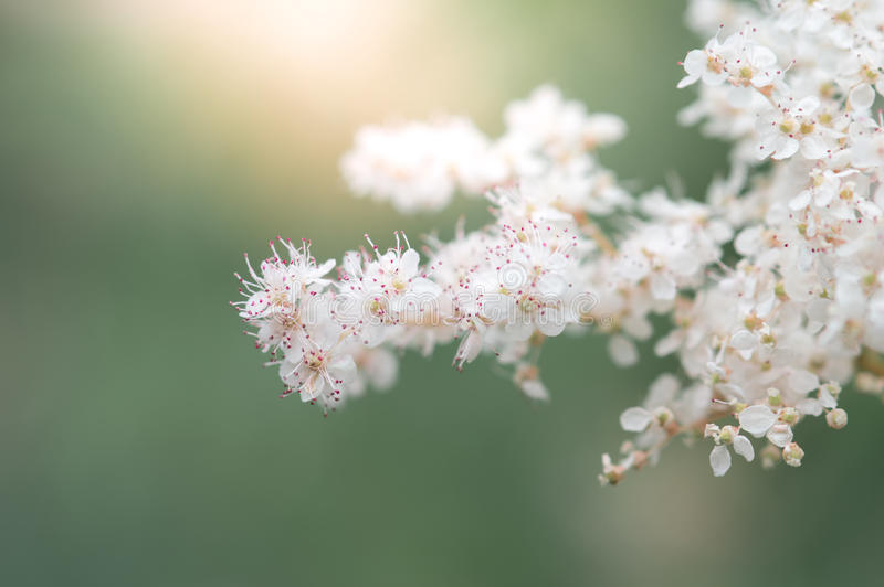 The white spirea flower on a beautiful background and sun light. Selective focus stock image