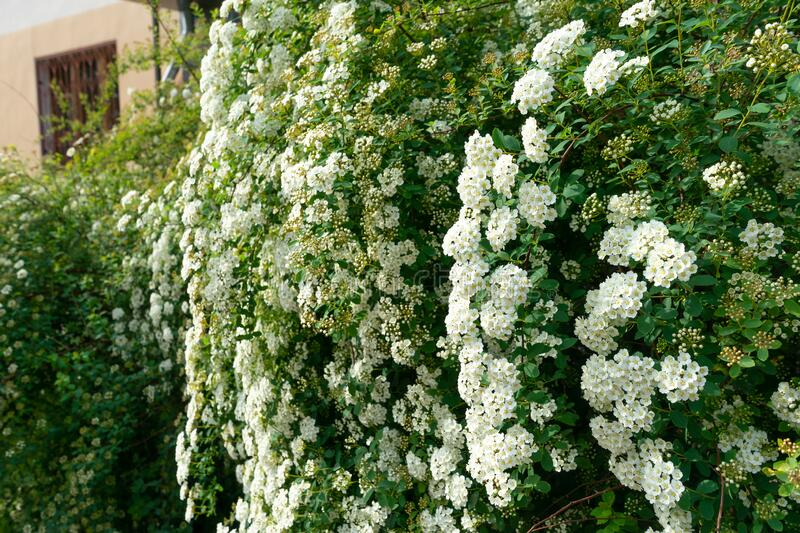 White spirea flower blooming in the garden, beautiful flower blossom stock photos