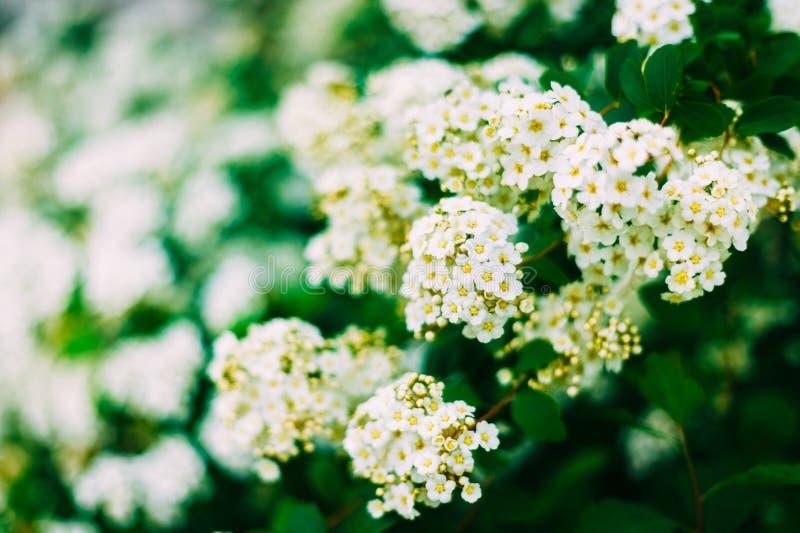 White Spirea Flowers On Bush At Spring royalty free stock photo