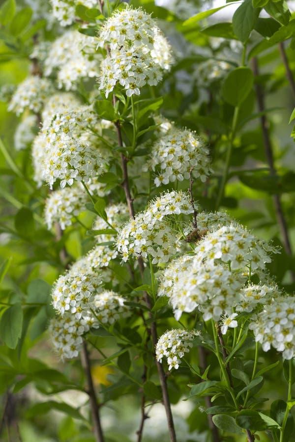 White spirea royalty free stock photography