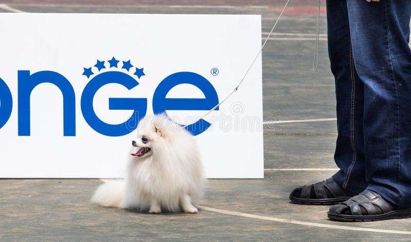 White Spitz and his owner stock photography