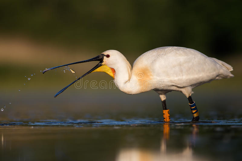 White spoonbill eating fish and drinking water stock photo for Dreaming of eating fish