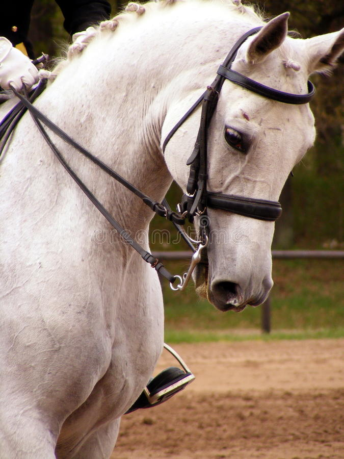 Download White Sport Horse Portrait With Bridle Stock Photo - Image: 25530920
