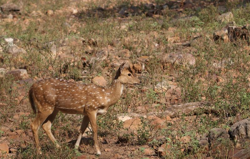 White spot deer. Single white spot deer walking in the forest. very natural and beautiful view stock photo