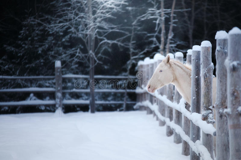 White spotted horse portrait, walk on the paddock. In winter stock photo
