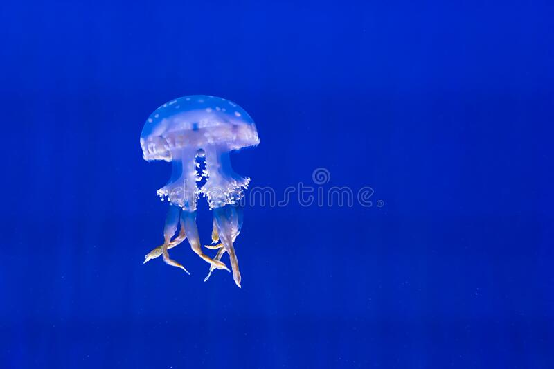 White-spotted Jellyfish Free Public Domain Cc0 Image