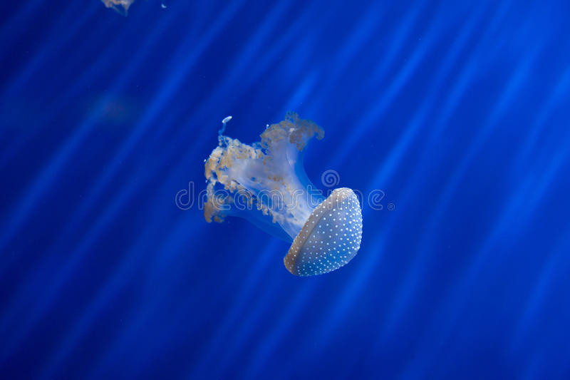 White-spotted jellyfish (Phyllorhiza punctata). White-spotted jellyfish (Phyllorhiza punctata), also known as the Australian spotted jellyfish. Wild life animal royalty free stock image