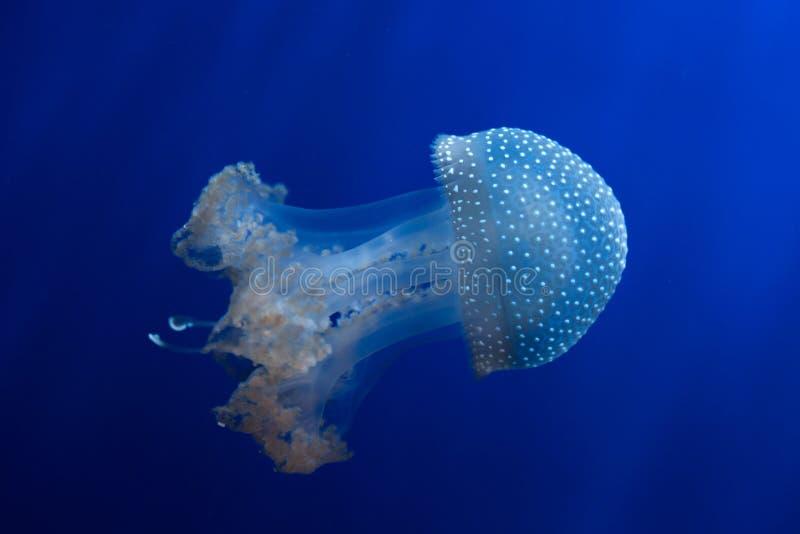 White-spotted jellyfish (Phyllorhiza punctata). royalty free stock photography