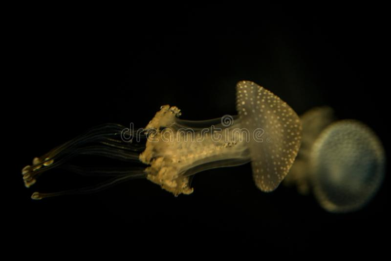 White spotted jellyfish Phyllorhiza punctata widespread jellyfish species is found in the Atlantic, Indian and Pacific oceans. Jellyfish in aquarium on clear royalty free stock photos