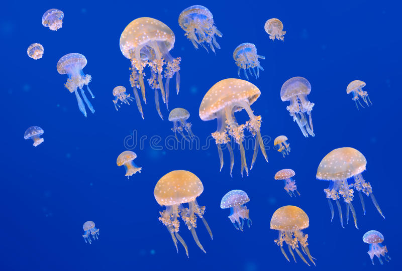 Download White-Spotted Jellyfishes stock image. Image of biology - 23734985