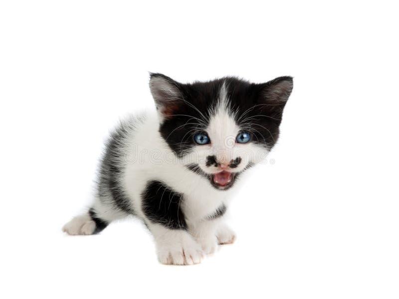 White spotted kitten on white stock images