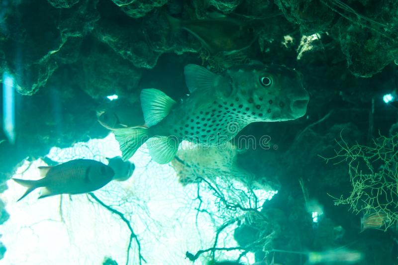 White spotted puffer fish Arothron hispidus underwater in red sea. stock photos