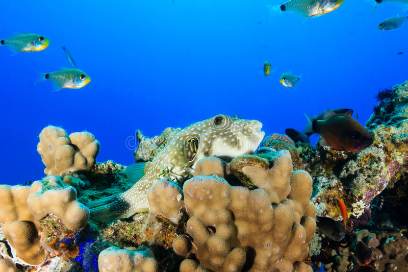 White Spotted Puffer fish on a hard coral stock image