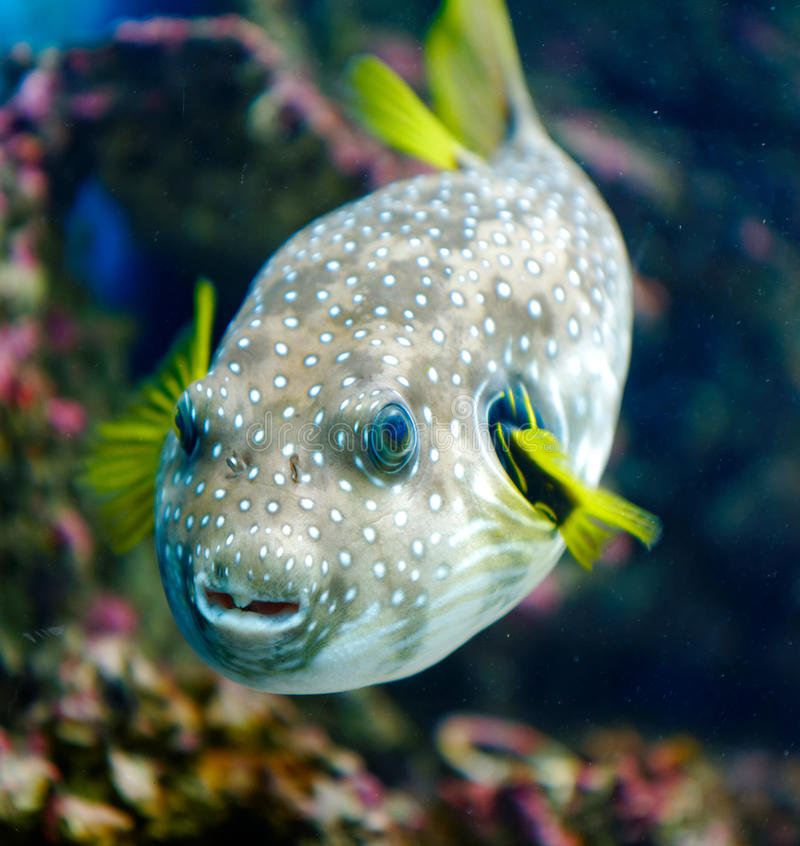 White-spotted puffer. In the sea stock photography