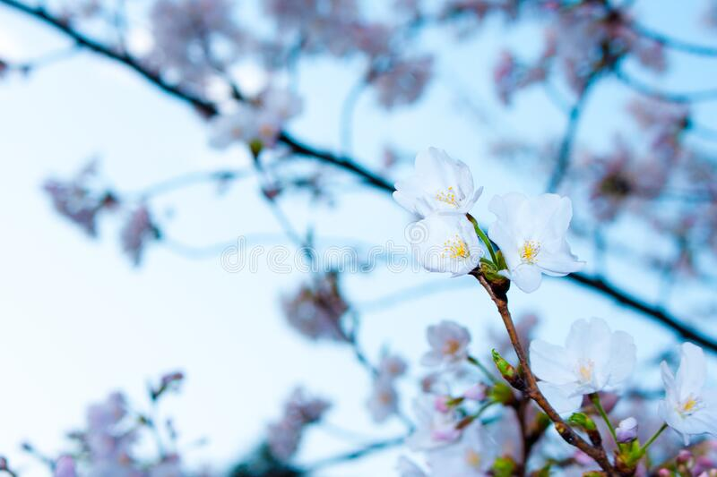 White Spring blossoms royalty free stock photos